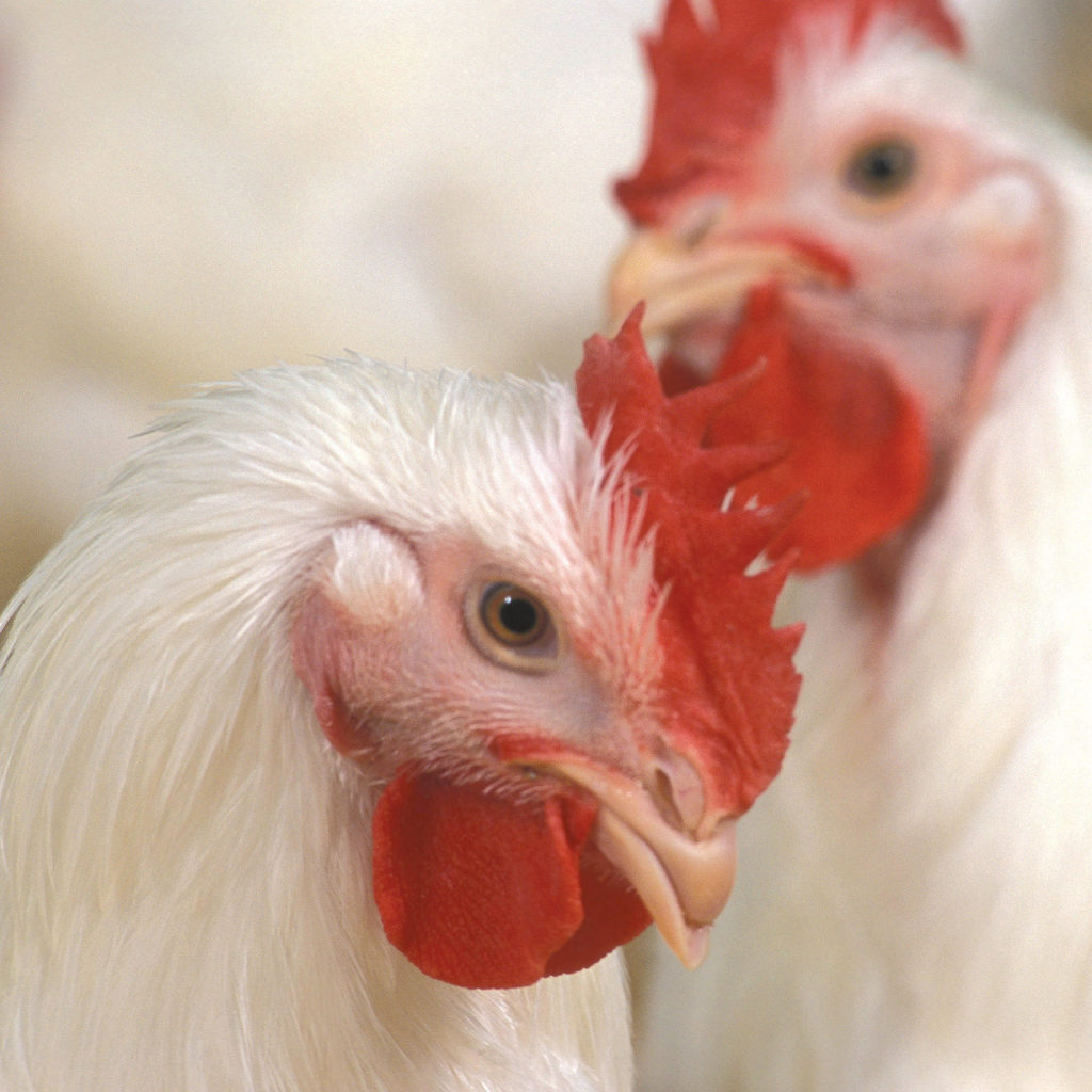Closeup view of chickens
